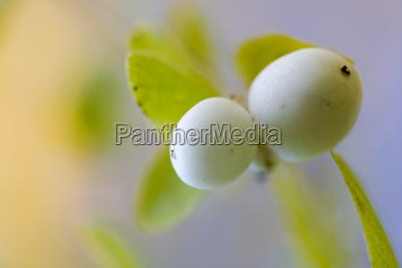 2 knallerbsen gesehenpflanzen na angle snowberry