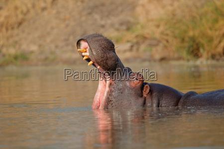 hipopotam z otwartymi ustami