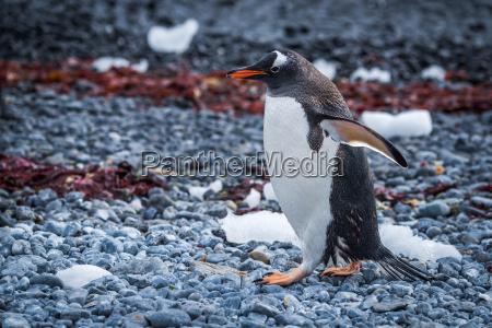 pingwin bialobrewy kipiacy wzdluz porosnietej wodorostami