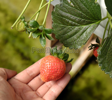truskawka owoc da lat dalat rolnictwo