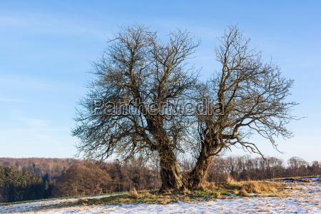 pojedynczo stojacego drzewa zywicznego landscape