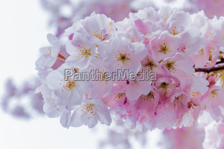 kwiaty wisni