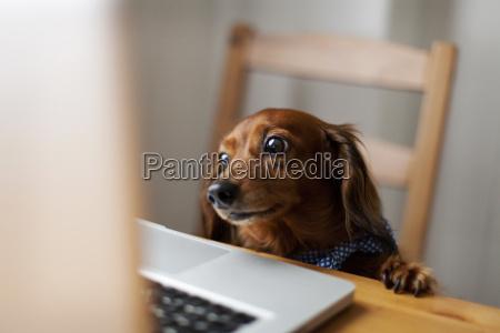 jamnik dlugowlosy patrzac na laptopa