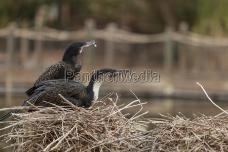 ptak kormoran wybrzeze przyrody suesswasser staw