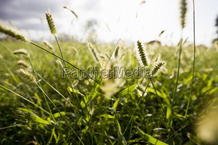 zblizenie naslonecznionych dlugich traw na polu