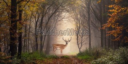 jelen fam na sciezce w lesie