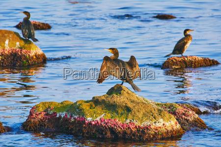 kormorany na skalach