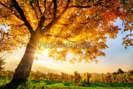 piekne drzewo na winnicy jesienia slonce