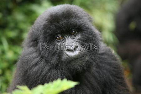 dzikie goryl zwierzat rwanda afryka tropikalny