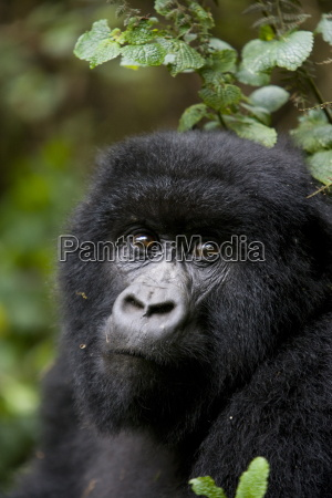 goryl gorski goryl gorilla beringei rwanda