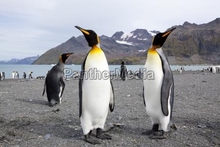 zwierze ptak dziczyzna dzika antarktyda plaza