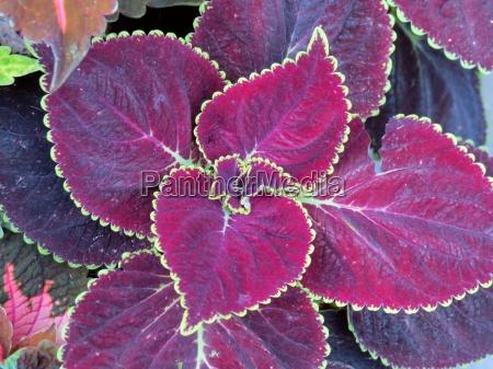 kolorowe kolektora pokrzywa purpura