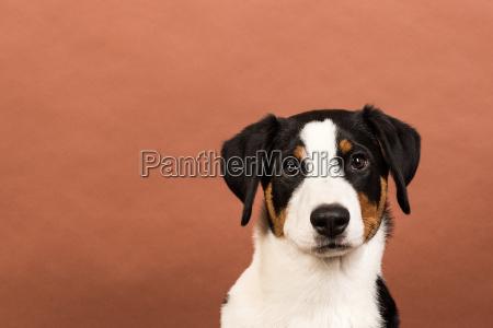 zwierze domowe zwierzeta pies