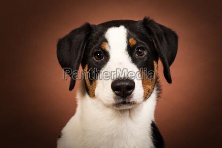 pies psy szczeniak