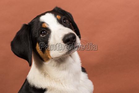 psy szczenia szczenieta szczeniaki uczen