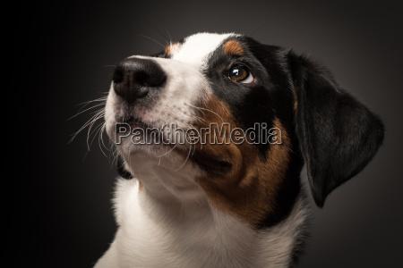 appenzell sennenhund portret na czarnym