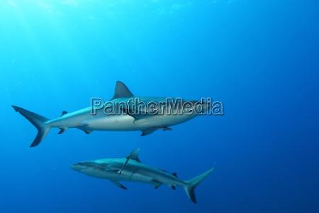 zwierzeta zwierzatka podwodne wideo plywanie rekin