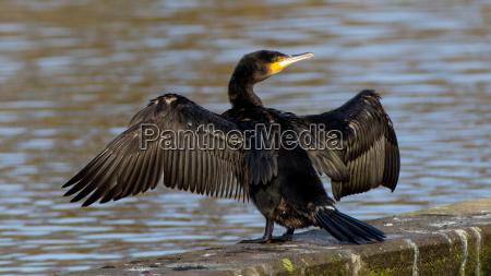 ptak murzynka czern dark skin raven