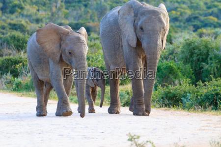 familie der elefanten aus suedafrika