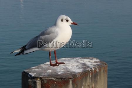 a black headed gull in january