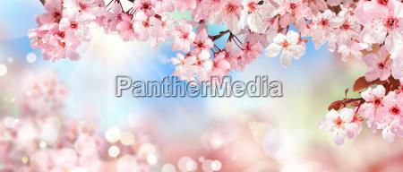 przyroda na wiosne kwiat wisni tlo