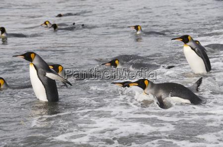 pingwiny krola st andrews bay georgia