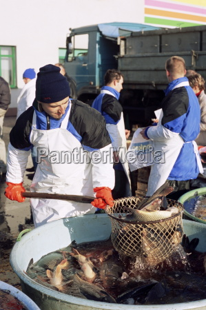sprzedawca polowu karpia na zywo z