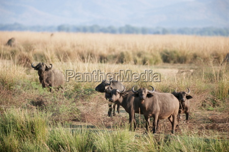 bawoly afrykanskie mana pools national park
