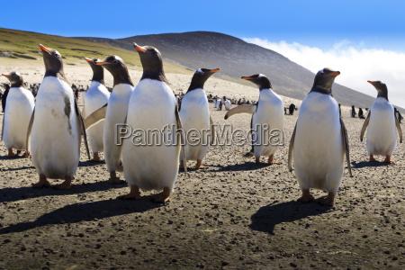 grupa pingwinow gentoo pygoscelis papua wyswietla