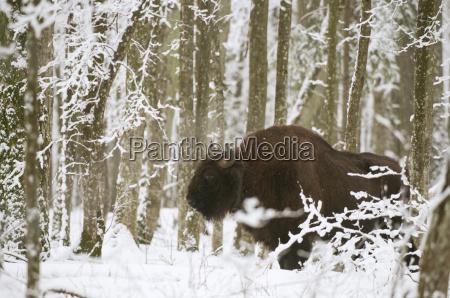 Zubr europejski bizon bonasus byk z