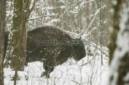 Zubr europejski bison bonasus bull walking