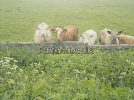 inkwizycyjne krowy w mgle highland szkocja