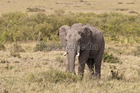 chodzenie zwiedzanie zwierze afryka slon sawanna