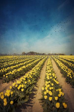 zolty tulipan pola alienacji