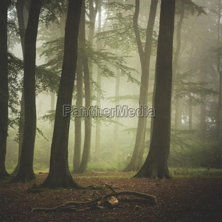 bukowy las w mglisty letni poranek