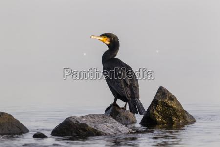 niemcy timmendorfer strand kormoran na morzu