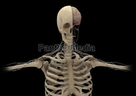 szkielet ludzki z przekatna czaszki odslaniajaca