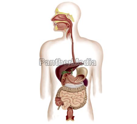 anatomia ludzkiego ukladu pokarmowego