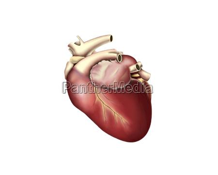 ilustracja ludzkiego serca