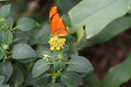 julia butterfly dryas iulia