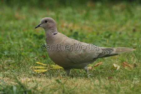 pigeon in the green