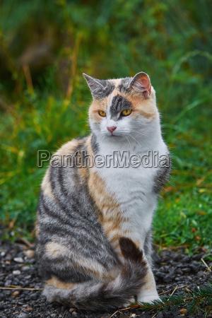 siedzac kot domowy