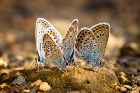 wiele calkiem gossamer skrzydlata motyle spoczywaja