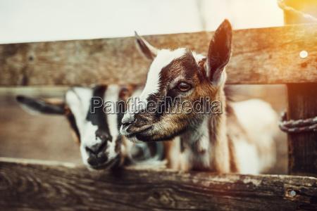 slodkie kozy