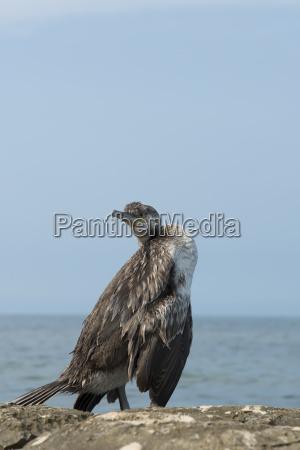 kormoran w wsrod skal