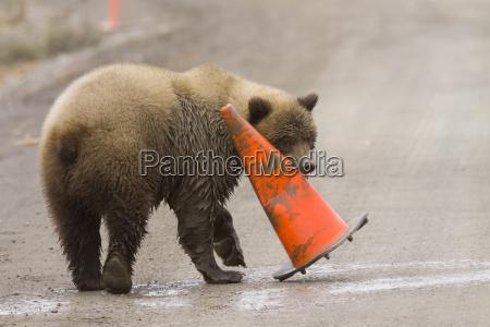 pod doroslych grizzly bear gnaws na
