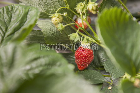 detail organiclly grown strawberries out of