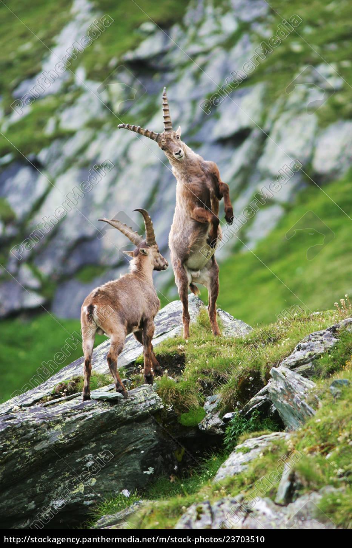 zwalczanie, capricorns, (capra, ibex), gross, glockner, - 23703510