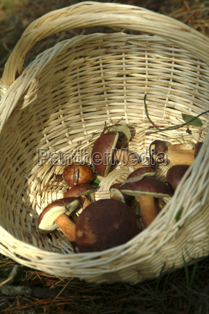 alimento cesta cogumelos fungo coletor coletar