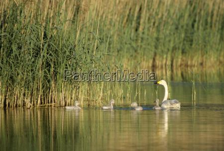 animais conservacao da natureza cisnes cisne